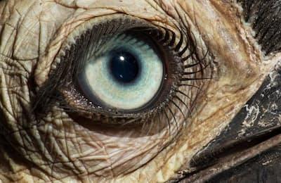 ミナミジサイチョウ(Bucorvus leadbeateri)の目(PHOTOGRAPH BY DAVID LIITTSCHWAGER, NAT GEO IMAGE COLLECTION)