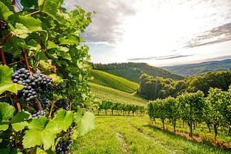 チリの乾燥した気候、日照時間の長さなどがワイン用ブドウ栽培に適している