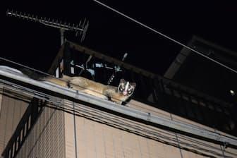 夜の東京都杉並区に出現したハクビシン=PIXTA