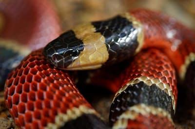 新種のヘビがその胃から見つかったチュウベイサンゴヘビ(Micrurus nigrocinctus)。ほかの小さなヘビを食べることも多い(PHOTOGRAPH BY MATTHIEU BERRONEAU)