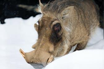 イボイノシシのドゥニア(オス3才)。顔にはいぼと立派な牙があります。(桜井省司撮影、提供:株式会社LEGION)