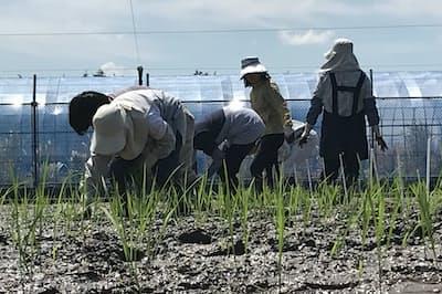 ゲノム編集による遺伝子改変技術はイネの苗にも応用されている(茨城県つくば市)
