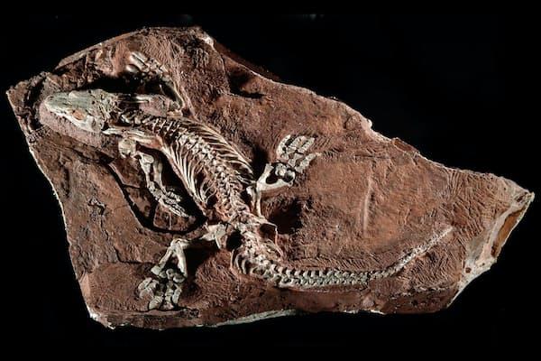 ドイツで発見されたオロバテス・パブスティの化石の完全さは驚異的だ(PHOTOGRAPH BY PHIL DEGGINGER / ALAMY STOCK PHOTO)