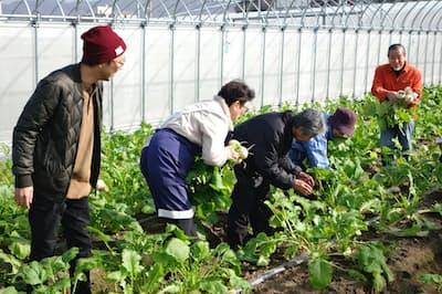 市民ボランティアらと小カブの収穫をする人たち(京都府宇治市の農園「京野菜いのうち」)