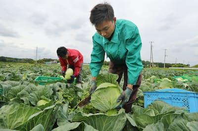 キャベツを収穫するインドネシアからの技能実習生