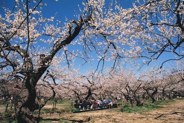 梅や福寿草が咲く中を走る、越生梅林のミニSL(写真:越生町役場)