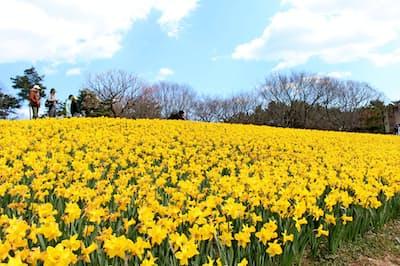 国営ひたち海浜公園(茨城県ひたちなか市)で咲き誇るスイセン