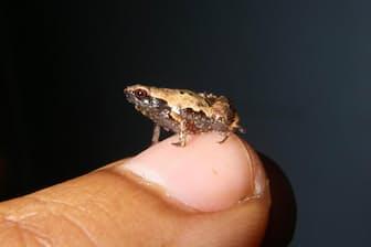 世界最小クラスのカエル「ミニ・マム」のオスの成体。指の爪と比べてもかなり小さい(PHOTOGRAPH BY DR. ANDOLALAO RAKOTOARISON)