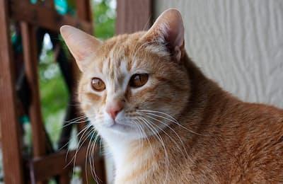 ネコは、自分の名前と、食べ物や撫でられることなどのご褒美を関連付けている(PHOTOGRAPH BY MARC MORITSCH, NAT GEO IMAGE COLLECTION)
