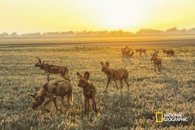 ゴロンゴーザのリカオンの群れ。リカオンは内戦中に公園から完全に姿を消した。しかし、彼らの獲物となる動物の個体数が増えたため、2018年に南アフリカから14頭を再導入したところ、生態系のバランスが改善された(PHOTOGRAPH BY CHARLIE HAMILTON JAMES)