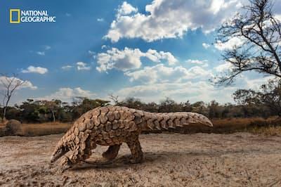 ジンバブエの保護センターで、アリやシロアリを探すサバンナセンザンコウの「タムダ」。センザンコウのうろこは違法に取引され、アジアで伝統薬として使われる。タムダも密売人の元から救出された(PHOTOGRAPH BY BRENT STIRTON)