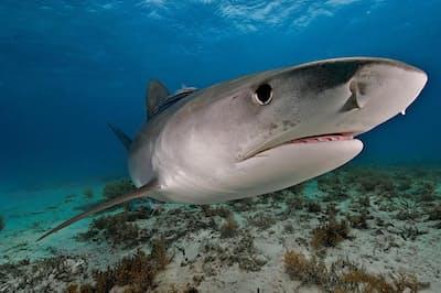 バハマ沖を泳ぐイタチザメ。イタチザメは死骸を探す名人で、特に視覚と嗅覚が優れている(PHOTOGRAPH BY BRIAN J. SKERRY, NAT GEO IMAGE COLLECTION)