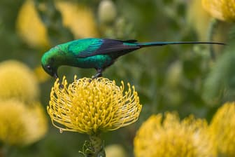 南アフリカ、ケープタウンの中心部から13キロほどの距離にあるカーステンボッシュ国立植物園の花をついばむミドリオナガタイヨウチョウ(PHOTOGRAPH BY ANN AND STEVE TOON, MINDEN PICTURES)