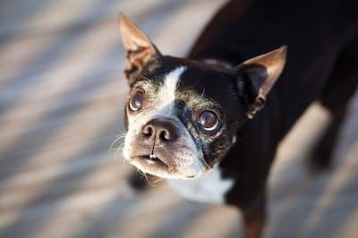 カメラに目を向ける、年老いたボストンテリア。イヌは人の感情にきめ細かく反応する(PHOTOGRAPH BY HANNELE LAHTI, NAT GEO IMAGE COLLECTION)