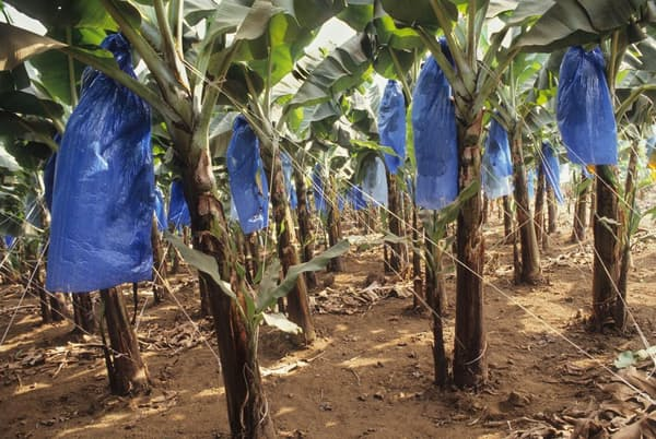プラスチックは、食料生産のあらゆる場面で使われている。写真のカメルーンの農園では、バナナに傷が付くのを防ぐためポリ袋をかぶせている(PHOTOGRAPH BY UNIVERSAL IMAGES GROUP, GETTY IMAGES)