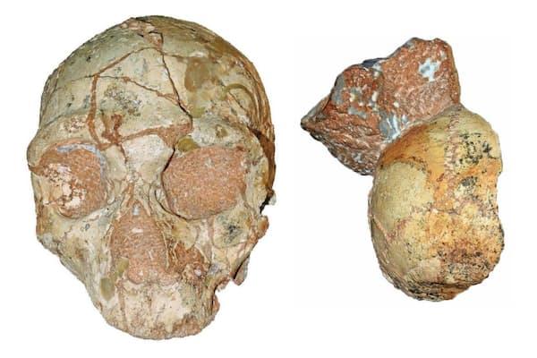 これら2つの化石は、わずか数センチしか離れていない場所で発見された。しかし、両者の年代には大きな開きがある。ネアンデルタール人(左)の方は17万年前、現生人類は21万年前と測定されている(COMPOSITE IMAGE COURTESY OF KATERINA HARVATI, EBERHARD KARLS UNIVERSITY OF TUBINGEN)