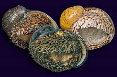 巻き貝の仲間スケーリーフットを下から見たところ(提供:JAMSTEC)