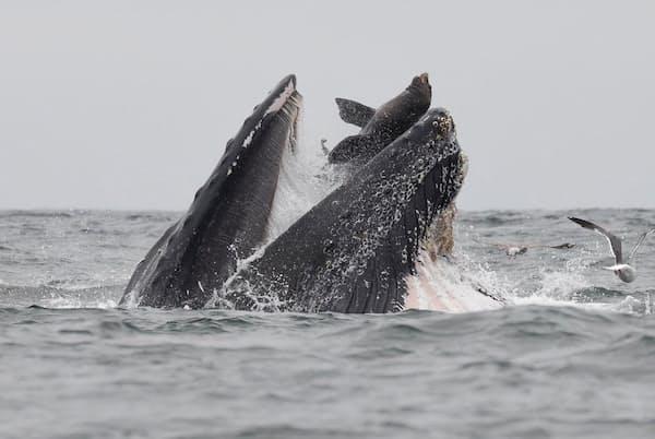 ザトウクジラが偶然、アシカを「丸のみ」に。2頭はモントレー湾で同じカタクチイワシの群れを食べている最中だった(PHOTOGRAPH BY CHASE DEKKER)