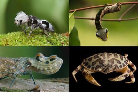 近縁の動物になりすまして敵から身を守る動物もいれば、ヒョウとカニというまったく別種の生物なのに、色や模様がそっくりに進化するものもいる