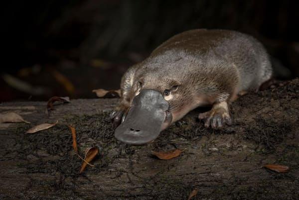 2018年、オーストラリアのビクトリア州を流れるリトルヤラ川に1匹のカモノハシが放された(PHOTOGRAPH BY DOUGLAS GIMESY)
