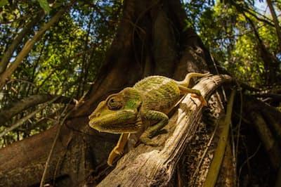 カメレオンは周囲の環境に合わせて皮膚の色を変えることができる(PHOTOGRAPH BY PETER R. HOULIHAN, NAT GEO IMAGE COLLECTION)