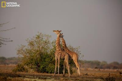 チャドのザクーマ国立公園で首をこすり合うコルドファンキリン。争いの前兆か、何らかの意思疎通かもしれない。ここはコルドファンキリンにとって比較的安全な生息地で、世界全体の個体数の半分以上が暮らしている(BRENT STARTON)