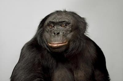 39歳のボノボ「カンジ」は、優れた言語能力を持つことで知られている。単語に対応する数百種類の記号を使って意思伝達も行える(PHOTOGRAPH BY VINCENT J. MUSI, NAT GEO IMGE COLLECTION)