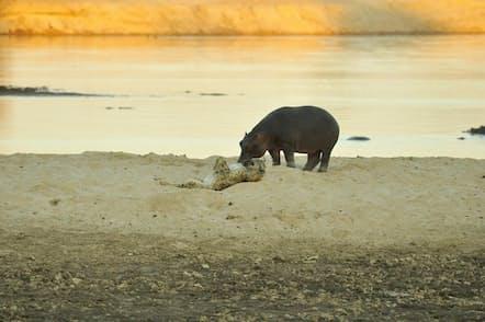 カバの横で寝返りを打ち、あおむけになったブチハイエナ。ルアングア川で7月に撮影(PHOTOGRAPH BY SHENTON SAFARIS)