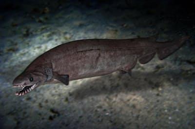 新たに発見された化石から、フェボダスという古代のサメは現代のサメであるラブカと同様、ウナギのような体を持っていたことがわかった。写真はポルトガル沖で撮影されたラブカ(PHOTOGRAPH BY PAULO OLIVERIA, ALAMY STOCK PHOTO)
