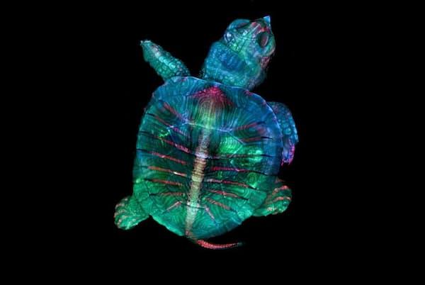 2019年の最優秀作品は、蛍光色素で色づけされたカメの子。顕微鏡技術者のテレサ・ズゴダ氏、米ロチェスター工科大学を卒業したばかりのテレサ・クグラー氏が何百枚もの画像を重ね、モザイクのようにつなぎ合わせた力作だ(IMAGE BY TERESA ZGODA AND TERESA KUGLER)