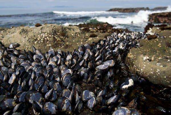 カナダ、ブリティッシュ・コロンビア州バンクーバー島の海岸に生息するキタノムラサキイガイ(Mytilus trossulus)は、2種類の伝染性がんに感染する可能性がある(PHOTOGRAPH BY CHERYL-SAMANTHA OWEN)