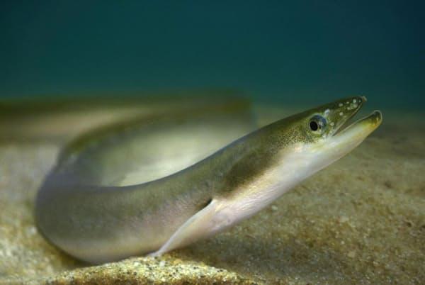日本の宍道湖では、1993年に周辺地域でネオニコチノイド系殺虫剤が使用されるようになって以来、ワカサギ(Hypomesus nipponensis)と写真のニホンウナギ(Anguilla japonica)の個体数が激減している(PHOTOGRAPH BY PAULIO OLIVERIA, ALAMY)