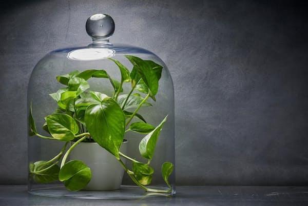 室内ガーデニングの人気が高まり、売れ筋の植物の多くは、部屋の空気をきれいにすると宣伝されている。しかし研究によると、室内の空気をきれいにするという点では、観葉植物の効果はないに等しいとの結果が出た(PHOTOGRAPH BY BECKY HALE AND MARK THIESSEN, NATIONAL GEOGRAPHIC)