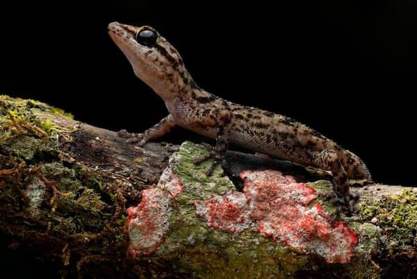 サビンユビワレヤモリ(学名Phyllodactylus andysabini)。生息域は1つの火山の250平方キロ足らずだ(PHOTOGRAPH BY LUCAS BUSTAMANTE)