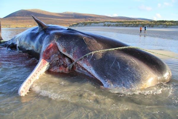2019年11月、英スコットランド、ハリス島の砂浜で死んでいるのが発見された若いマッコウクジラ。解剖の結果、胃から100キロものごみの塊が見つかった(PHOTOGRAPH BY SCOTTISH MARINE ANIMAL STRANDING SCHEME)