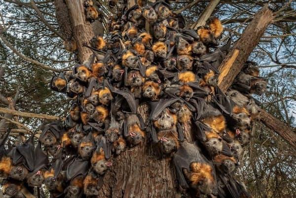 昨年12月に、豪メルボルン郊外のヤラ・ベンド公園で気温43度を超える暑さのなか、息が詰まりそうなほどのかたまりになってあえぐハイガシラオオコウモリの群れ。公園では、3日間でこの群れも含めて約4500匹のコウモリが死んだ(PHOTOGRAPH BY DOUG GIMESY)