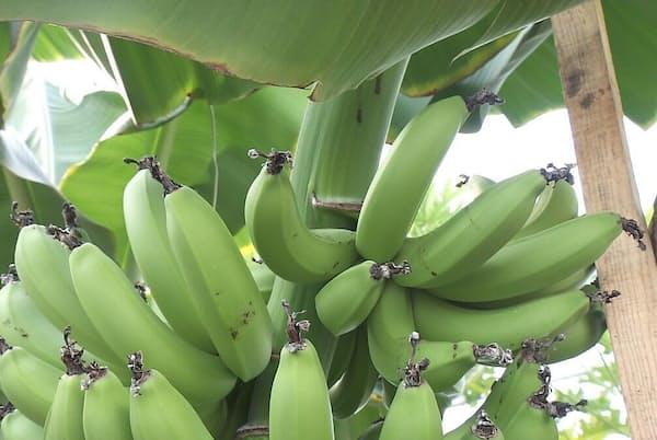 寒暖差があるほど光合成が活発になり、おいしくなるとされる「雪国バナナ」