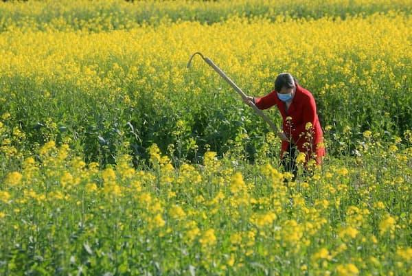 2020年2月18日、世界中に新型コロナウイルスへの不安が拡大するなか、中国江西省の畑で農作業をする村人。インフルエンザウイルスなど一部のウイルスは、気温が低く空気が乾燥していると感染が拡大しやすいが、今回の新型コロナウイルスも同じように天候に左右される性質を持っているかどうかはまだわからない(PHOTOGRAPH BY LIU HAOJUN XINHUA, EYEVINE/REDUX)