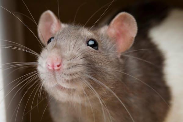 ネズミとヒトの脳には、仲間に危害が及ぶのを避ける行動を調節する前帯状皮質という部位がある(PHOTOGRAPH BY VINCENT J. MUSI, NAT GEO IMAGE COLLECTION)