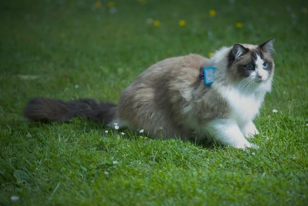 1週間の調査期間中、ネコたちは外出先を追跡するGPS装置付きの首輪を装着した(PHOTOGRAPH BY HEIDY KIKILLUS)