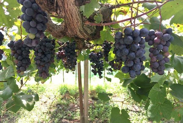 スパークリングワインを主軸としたワイン造りをする福山わいん工房。使用する主なブドウは、福山産のマスカット・ベーリーAだ。写真提供:福山わいん工房