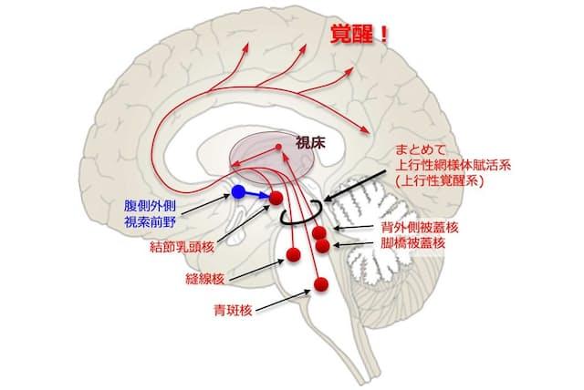 赤で示した「上行性網様体賦活系(上行性覚醒系)」は複数の覚醒系神経核からの神経投射の集合体であり、その多くは視床を経由する。青で示した「腹側外側視索前野」は睡眠系神経核である(画像提供 三島和夫)