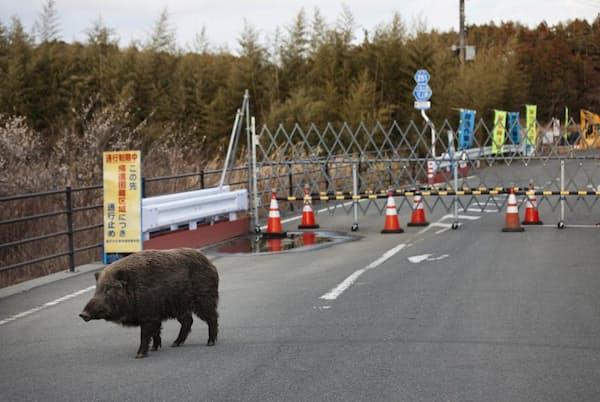 震災から数年が経ち、人が消えた福島第一原発周辺の立入禁止区域の道路を歩くイノシシ(PHOTOGRAPH BY KO SASAKI, BLOOMBERG/GETTY)