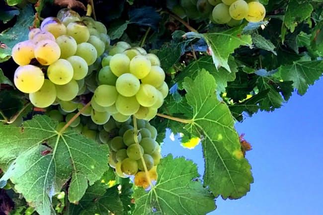 ソーヴィニヨン・ブラン種から造られる白ワインは冷涼感やスカッとした気分を味わえる