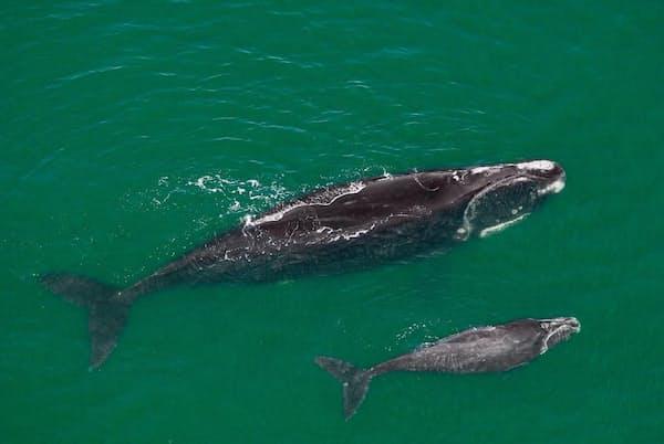 米国フロリダ沖を泳ぐタイセイヨウセミクジラの母子。タイセイヨウセミクジラは地球上に約400頭しか残っていない(PHOTOGRAPH BY BRIAN J. SKERRY, NAT GEO IMAGE COLLECTION)