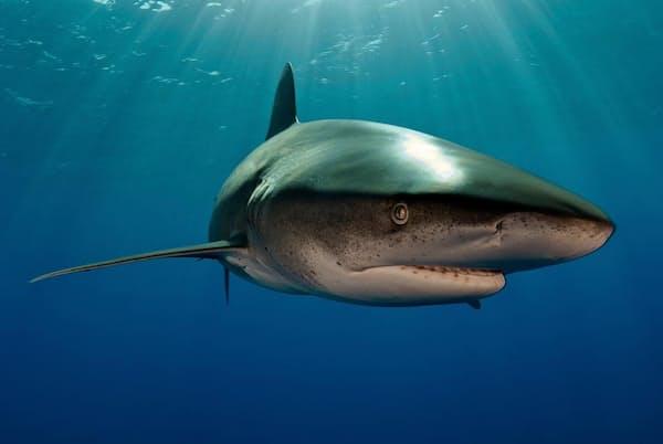 カリブ海のバハマ諸島沖を泳ぐ「ヨゴレ」。ヨゴレは通常、海面近くで捕食するため、今回の発見はいっそう興味深い(PHOTOGRAPH BY BRIAN J. SKERRY, NAT GEO IMAGE COLLECTION)
