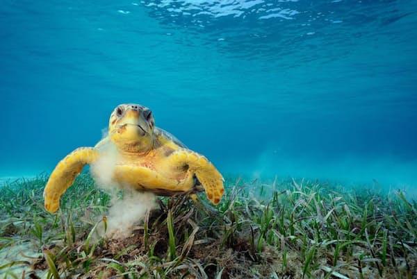 海草を食べるアカウミガメ。海底の堆積物が舞い上がることで、線虫、甲殻類、ヒドロ虫などの無数の小さなヒッチハイカーたちが甲羅に乗りこむことになる(PHOTOGRAPH BY BRIAN SKERRY, NAT GEO IMAGE COLLECTION)