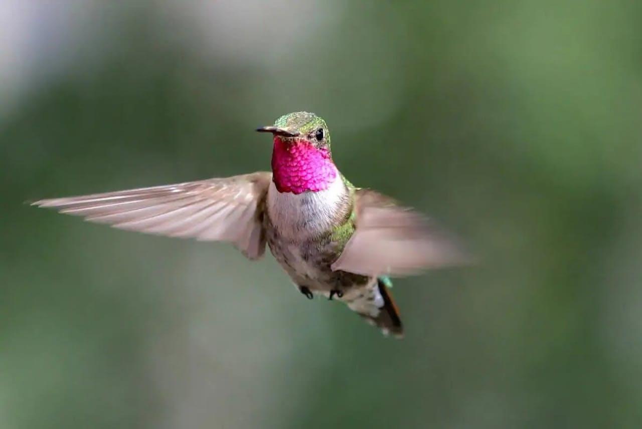 色覚の実験が行われた米コロラド州の現場に飛んできたオスのフトオハチドリ(PHOTOGRAPH BY NOAH WHITEMAN, UNIVERSITY OF CALIFORNIA, BERKELEY)