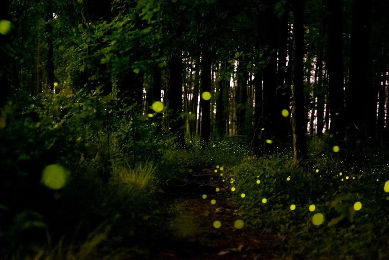 毎年5月、米コンガリー国立公園の低地を照らし出すフォトゥリス属のホタルの一種「Photuris frontalis」。同期して光るホタルとして知られ、高速で一斉に明滅する(PHOTOGRAPH BY MAC STONE)