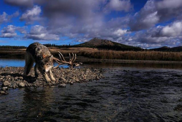 イエローストーン国立公園のペリカンクリークの岸で立ち止まったオオカミ。1990年代に科学者らによってこの地にオオカミが再導入された(PHOTOGRAPHS BY RONAN DONOVAN)